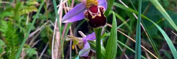 Photo of Bee Orchid