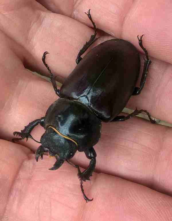 Photo of female stag beetle