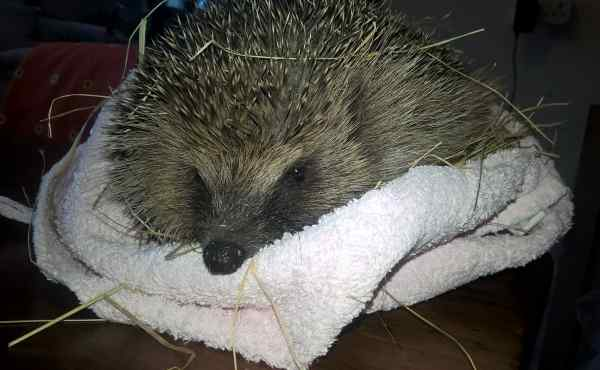 Photo of hedgehog in care