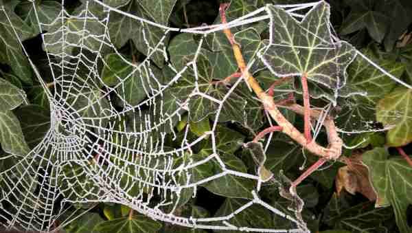 Photo of cobweb with frost