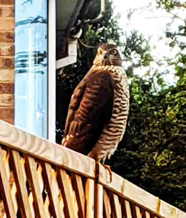 photo of sparrow hawk
