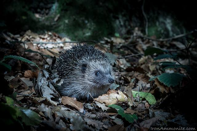 Photo of hedgehog