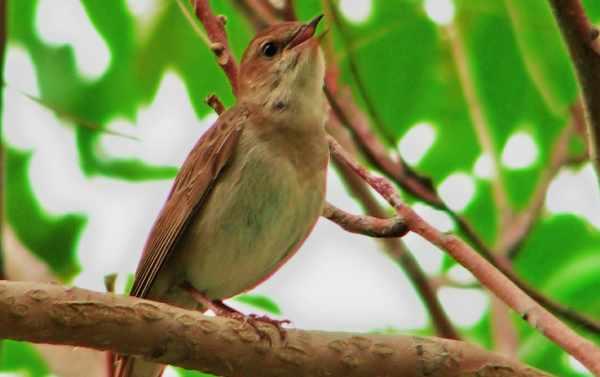 Photo of nightingale singing