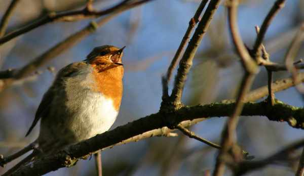 Photo of robin singing