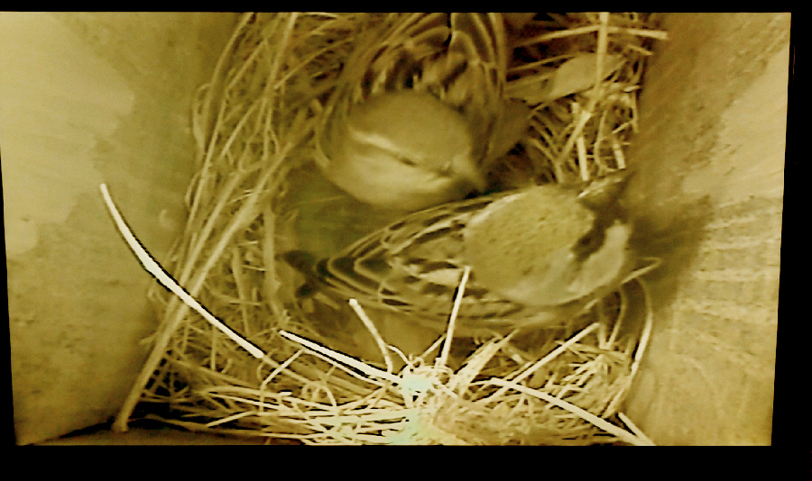 Photo of sparrows in nestbox